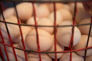 Eggin eru tínd frá hænunum.